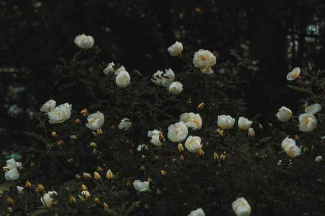 bed of white petaled flowers